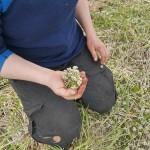 Elin forages scurvy-grass / skjørbuksurt flowers