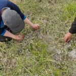 Foraging scurvy-grass / skjørbuksurt flowers