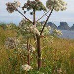Angelica sylvestris with red stem