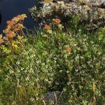 There were mats of Eyebright / Øyentrøst on the island, here with Strandkjeks / Scots Lovage