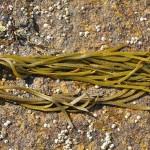Thongweed, sea thong or sea spaghetti / remtang
