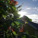 Runner beans / stangbønner are now appearing after a long time in flower