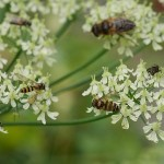 Late flowering Heracleum sibiricum was full of insects including hoverflies...please help with IDs...