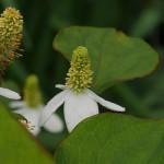 Houttuynia cordata, Himalayan water creeper