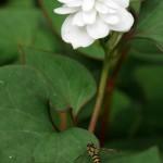 Double Houttuynia cordata, Himalayan water creeper