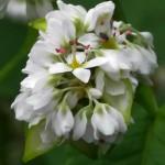 Buckwheat / bokhvede