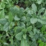 Perennial kales!