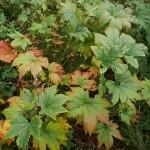 Filipendula camtschatica / Giant Meadowsweet / Kjempemjødurt