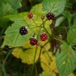 Native blackberry, Rubus nessensis  (Skogbjørnebær )