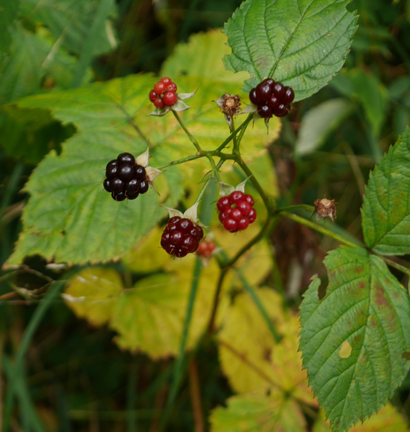 Native blackberry, Rubus nessensis  (Skogbjørnebær )