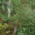 Geir has several bamboo species..all with edible shoots