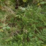 Podocarpus nivalis from New Zealand likes it here!