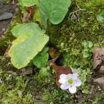 An autumn flowering Hepatica