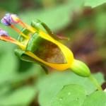 New Zealand dwarf Fuchsia procumbens is a beautiful miniature edimental