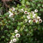 Gaultheria spp.