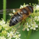 Eristalis pertinax (Gulfotdroneflue, a hoverfly) on late flowering Heracleum hybrid.