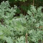 Self-sowed Ragged Jack Kale