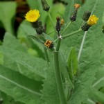 Sonchus kirkii from New Zealand, the original perennial sow thistle used by the Maori! See my book!
