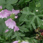 Malva moschata and blackberries