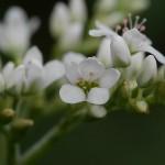 Perennial buckwheat, Fagopyrum dibotrys in flower