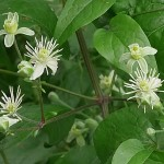 Old man's beard, Clematis vitalba, young shoots are edible cooked