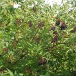 Elderberry Samnor, one of the new early hardy high yielding cultivars..