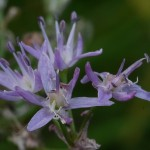 Allium angulosum with secondary flowers...