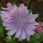Pink flowered perennial chicory is a beauty!