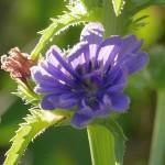 Endive in flower