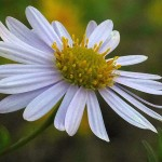 Aster yomena, one of the species eaten (young shoots) in the Far East, flowering for the first time!