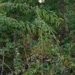 Urtica gracilis (Slender nettle or California nettle) in flower