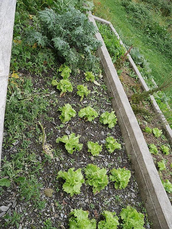 Vidar-Rune is still growing vegetables