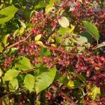 Is this Aronia arbutifolia?