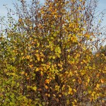 ...and Amelanchier