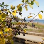 Amelanchier berries that the birds haven't taken..
