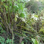 Udo (Aralia cordata) collapses early autumn under its own weight....