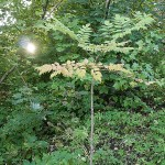 Aralia elata from Honshu in Japan is the  youngest of 3 trees