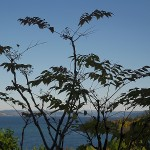 Aralia elata (devil's walking stick) is in fruit for the first time here