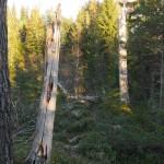 Black woodpecker / svartspett nest trees
