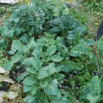 Perennial Kale Bed #2 : I will take cuttings of thesenext weekend!