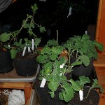Cuttings safely inside the house in my loft room (unheated)
