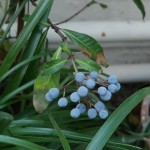 Fuchsia paniculata fruit