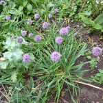 I even left with a new Allium...this one (Allium senescens?) was rather nice!