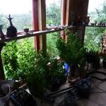 In Craig's studio, the basil plantation...