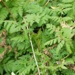 Myrrhis odorata, sweet cicely