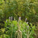 Lupins, another nitrogen fixer