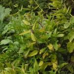 Chorogi or Chinese artichokes