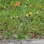 Sonchus asper, spiny sow thistle is best eaten young