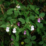 Himalayan Balsam, one of the best edible introductions to the UK ;)
