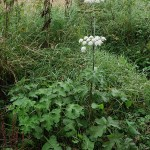 Giant Hogweed...a source of the persian spice  Golpar